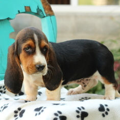 Basset Hound Puppy for sale in GAP, PA, USA