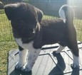 Akita Puppy For Sale in YORBA LINDA, CA, USA