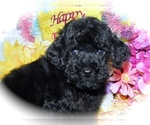 Small #2 Poodle (Toy)