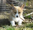 Pembroke Welsh Corgi Puppy For Sale in HUMBLE, TX