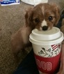 Cavalier King Charles Spaniel Puppy For Sale in SAN DIEGO, CA, USA