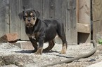 Olde English Bulldogge Puppy For Sale in AKRON, OH