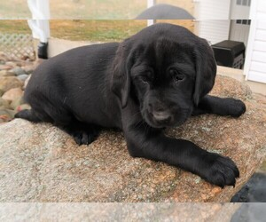 Mutt Puppy for sale in ANN ARBOR, MI, USA