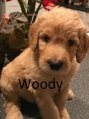 Goldendoodle Puppy For Sale in CORNING, CA, USA