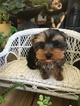 Yorkshire Terrier Puppy For Sale in LOS ANGELES, California,