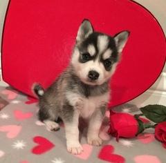 Alaskan Klee Kai Dog for Adoption in WINCHESTER, Ohio USA