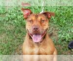 Small #32 American Staffordshire Terrier-Chinese Shar-Pei Mix