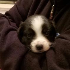 Australian Shepherd Puppy For Sale in PENN VALLEY, CA