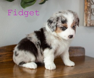 Miniature Australian Shepherd Puppy for Sale in ADEL, Iowa USA