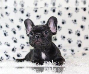 French Bulldog Puppy for Sale in LAGUNA BEACH, California USA