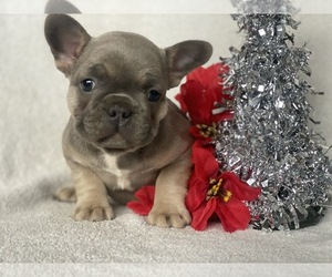 French Bulldog Dog for Adoption in CEDAR LANE, Pennsylvania USA