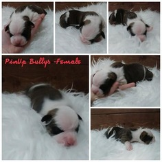 Olde English Bulldogge Puppy For Sale in EUGENE, OR, USA