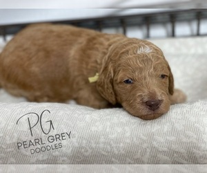 Goldendoodle Puppy for Sale in MOULTON, Alabama USA