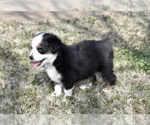 Miniature Australian Shepherd Puppy for Sale in WICHITA FALLS, Texas USA