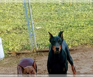Doberman Pinscher Dog for Adoption in PLEASANT HOPE, Missouri USA