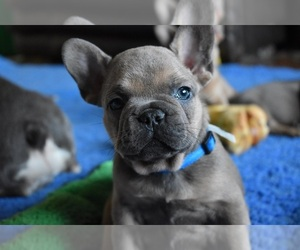 French Bulldog Puppy for sale in LINDENTREE, OH, USA