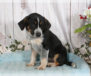 Australian Cattle Dog-Bluetick Coonhound Mix Puppy for sale in PENNS CREEK, PA, USA