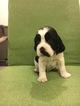 English Springer Spaniel Puppy For Sale in GOODLAND, KS, USA