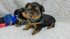 Yorkshire Terrier Puppy For Sale in ARLINGTON, TX, USA