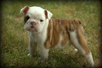Bulldog Puppy For Sale in PICKERINGTON, OH, USA