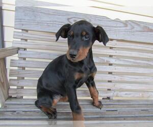 Doberman Pinscher Puppy for sale in S BEND, IN, USA