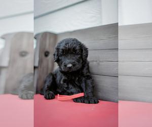 Goldendoodle Puppy for sale in SABETHA, KS, USA