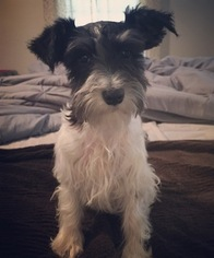 Schnauzer (Miniature) Puppy For Sale in MOUNT HOLLY, NC