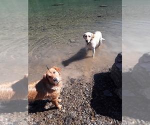 Golden Labrador Dog for Adoption in RONAN, Montana USA