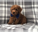 Small Photo #4 Shih Tzu-Yorkie-Poo Mix Puppy For Sale in LAKELAND, FL, USA
