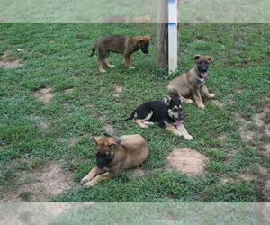 German Shepherd Dog Puppy for sale in MULDROW, OK, USA