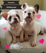 Faux Frenchbo Bulldog Puppy For Sale in CHARLOTTE, NC, USA