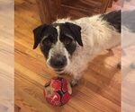 Small #2 German Wirehaired Pointer Mix
