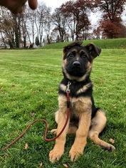 German Shepherd Dog Puppy For Sale in WALLA WALLA, WA, USA