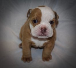 English Bulldog Puppy For Sale in HATTIESBURG, MS, USA