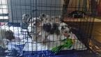 Australian Shepherd Puppy For Sale in OAK GROVE, MO, USA