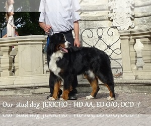 Bernese Mountain Dog Puppy for sale in Czestochowa, Silesia, Poland