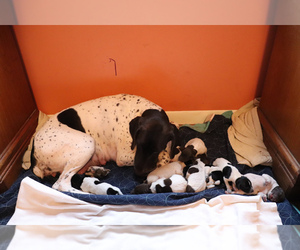 German Shorthaired Pointer Puppy for sale in TITUSVILLE, PA, USA