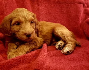 Goldendoodle Puppy For Sale in BEAN BLOSSOM, IN, USA