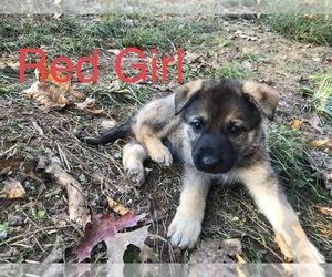 German Shepherd Dog Puppy for Sale in ZEPHYRHILLS, Florida USA