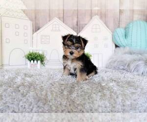 Morkie Mix Dog for Adoption in FULLERTON, California USA