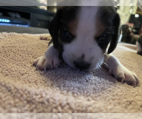 Medium Photo #6 Beagle Puppy For Sale in LAFAYETTE, IN, USA