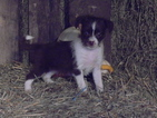 Fox Terrier (Smooth)-Havanese Mix Puppy For Sale in MILLERSBURG, OH, USA