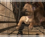Belgian Malinois AKC Registered Puppies for sale