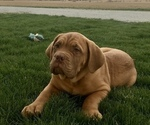 Puppy 1 Dogue de Bordeaux