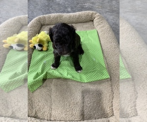 Aussie-Poo-Aussiedoodle Mix Puppy for sale in LOUISVILLE, KY, USA