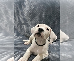 Medium Dogo Argentino