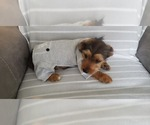 Small #8 Yorkie Russell