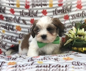 Lhasa Apso Dog for Adoption in LAKELAND, Florida USA