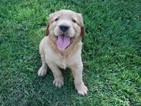 Golden Retriever Puppy For Sale in WAYNESVILLE, MO, USA
