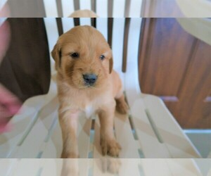 Golden Retriever Puppy for sale in KOKOMO, IN, USA